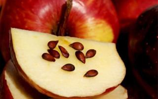 Можно ли есть яблочные косточки: польза или вред?