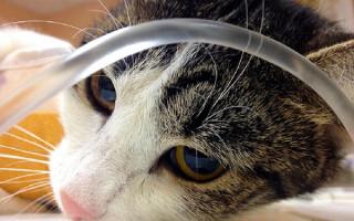Как самостоятельно вызывать рвоту и промыть желудок у кота?