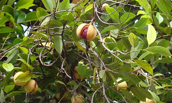 Мускатный орех на дереве