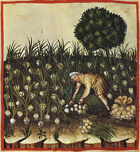 Сбор чеснока в 15 веке