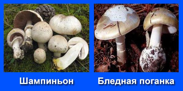 можно ли курицам давать сырые грибы