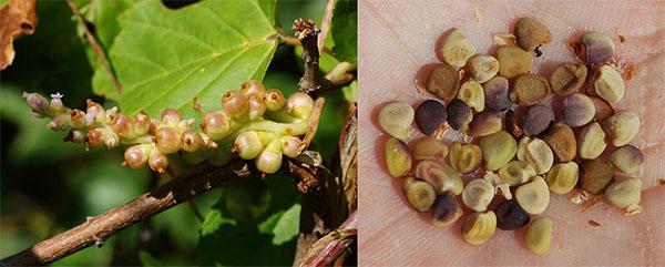 Растение и семена повилики хмелевидной