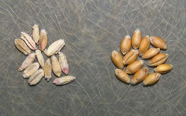 Фузариоз на зернах