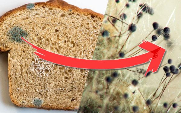 Плесень на хлебе под микроскопом